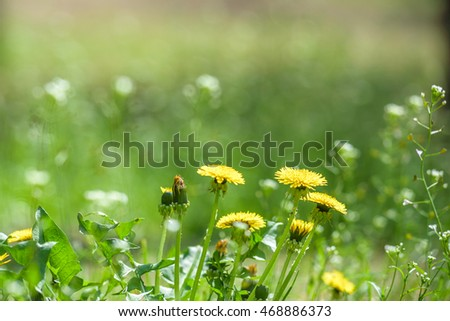 Dandelions in the meadow. Bright flowers dandelions on background of green meadows.