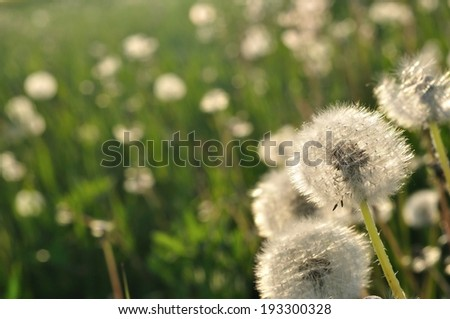 Dandelions in the meadow in spring. Space on left side - stock photo