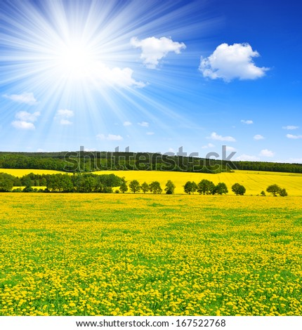 dandelions in the meadow with sunny sky  - stock photo