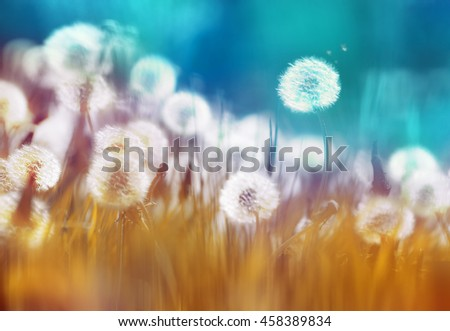 Dandelions in the morning sun on a blue and orange background. - stock photo
