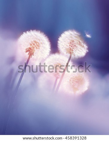 Dandelions in the morning sun on a blue background. Seeds of dandelion wind blows. - stock photo