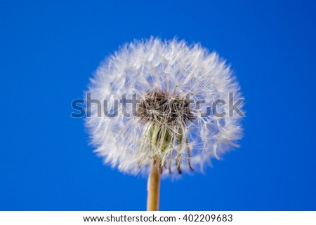 dandelions isolated on the blue sky background