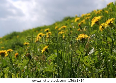 Dandelions on a hill - stock photo