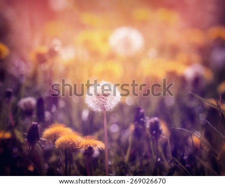 Dandelions on the meadow at sunset  - stock photo