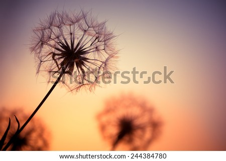 Dandelions on the meadow during sunset close up - stock photo