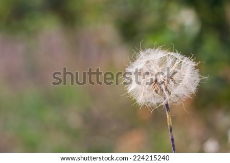 Dandelions with space on left side - stock photo