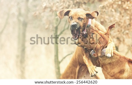 dangerous and angry fight two rhodesian ridgeback dog protection and defense - stock photo