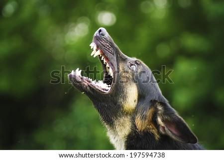 dangerous angry german shepherd dog barks outdoors - stock photo