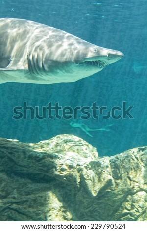 dangerous bull shark jaw huge - stock photo