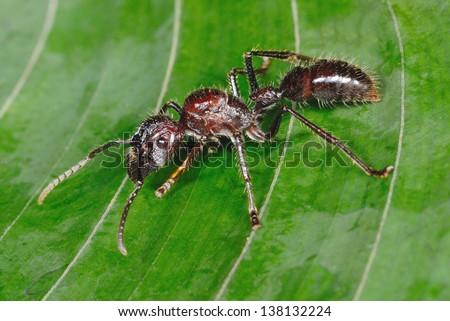 Dangerous Bullet Ant (Paraponera clavata) in Costa Rica rainforest - stock photo