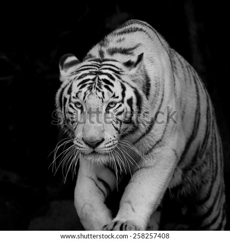 Dangerous, but adorable white bengal tiger, isolated on black background. Picturesque monochrome portrait of expressive animal. Amazing beauty of excellent wildlife in black and white image.  - stock photo