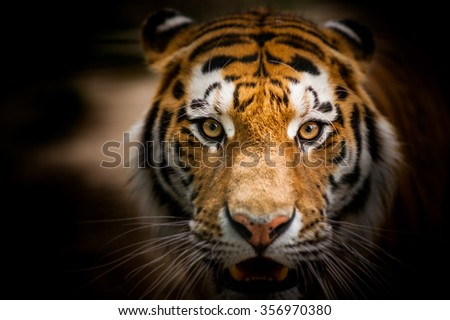 Dangerous look wild tiger close up portrait - stock photo