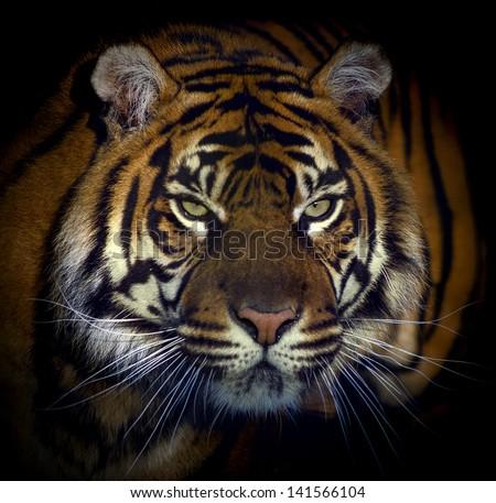 Dangerous looking tiger - stock photo
