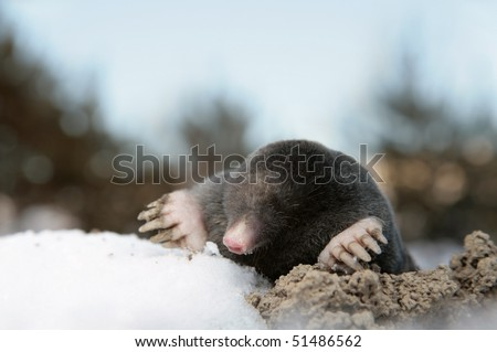 Dangerous mole in molehill, winter, snow