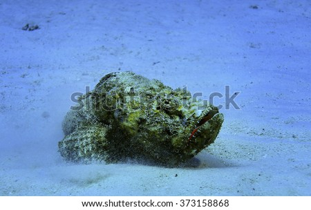 dangerous stone fish - stock photo