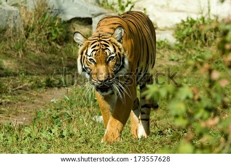 dangerous tiger in a zoo