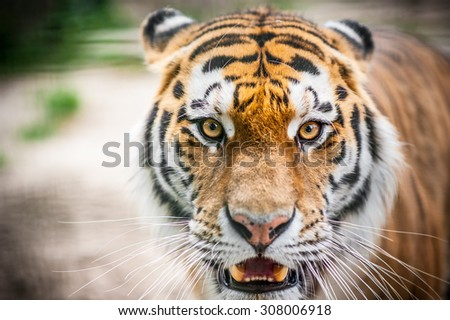 Dangerously close up portrait of tiger before attack - stock photo
