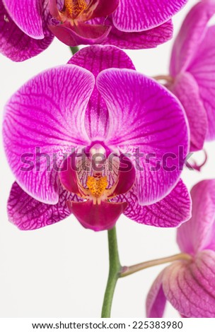 Dangling purple and white Moth orchids close up - stock photo