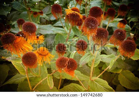 Danish garden with mostly withered Echinacea in August. - stock photo