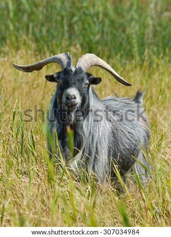 Danish Landrace goat seen from the front standing in natural surroundings - stock photo