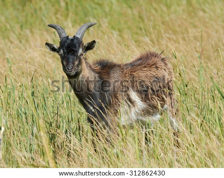 Danish Landrace goat seen from the side standing in natural surroundings - stock photo