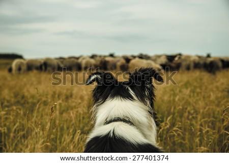 danish sheepdog - stock photo
