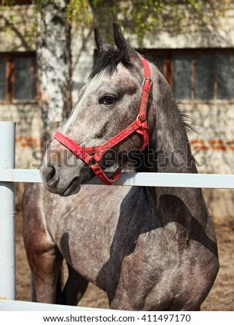 Dapple gray Lusitano horse colt in stud farm - stock photo