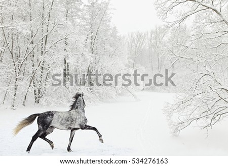 Dapple-grey arabian horse in motion on snow field