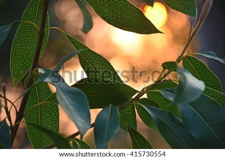 Dappled sunlight on backlit waratah leaves at sunset in the Australian bush - stock photo