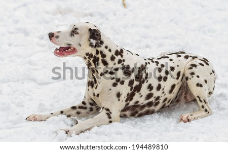 Darina Dalmatian - stock photo