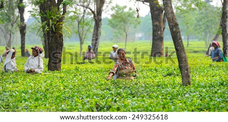 DARJEELING, INDIA - APRIL 3: Indian women picking tea leaves in tea garden on April 3, 2014 in Darjeeling, India. For these farmers tea is their main source of income (around $700 annual).  - stock photo