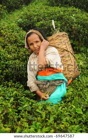 DARJEELING, INDIA - AUGUST 20: Woman picks tea leafs on the famous Darjeeling tea garden during the monsoon season on August 20, 2010. The majority of the local population are immigrant Nepalis. INDIA - stock photo