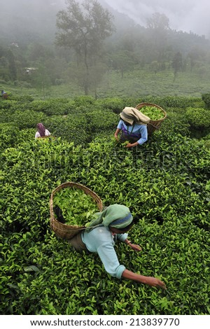 DARJEELING, INDIA,  - July. 5. 2012: Women pick up tea leafs by hand at tea garden in Darjeeling, one of the best quality tea in the world, India