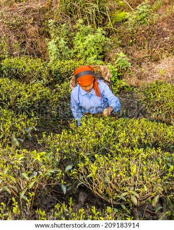 DARJEELING, INDIA - MARCH 14, 2014: A tea picker in the tea plantations of Darjeeling, dressed in colorful clothes, is plucking the fresh tea leaves  from the bushes.  - stock photo
