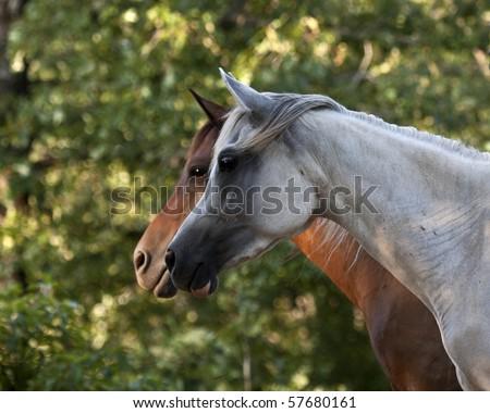 Dark and light Arabian horse profiles - stock photo