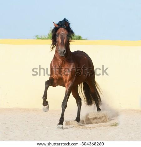 dark bay andalusian horse runs free in paddock with yellow wall - stock photo