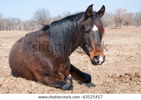 Dark bay horse in his winter coat taking a midday nap in pasture