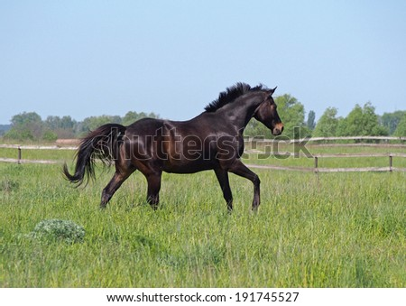 Dark-bay horse running on pasture in summer