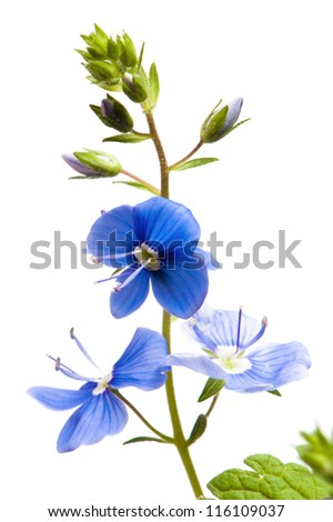 Dark blue field flower, it is isolated on white
