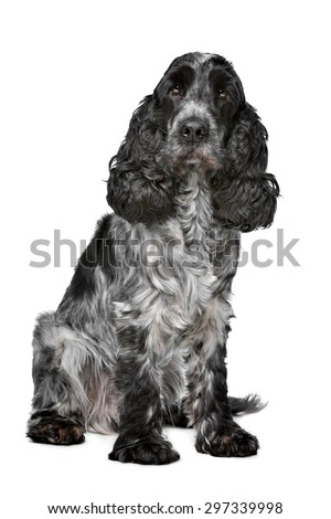 Dark blue roan Cocker Spaniel in front of a white background - stock photo