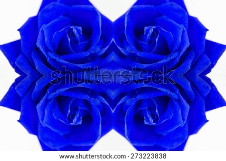dark blue rose on valentines day. - stock photo