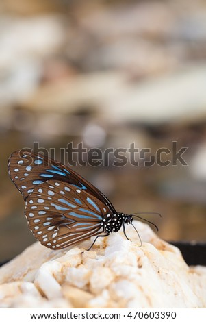 Dark Blue Tiger Tirumala septentrionis butterfly catching stone in the water stream, Thailand