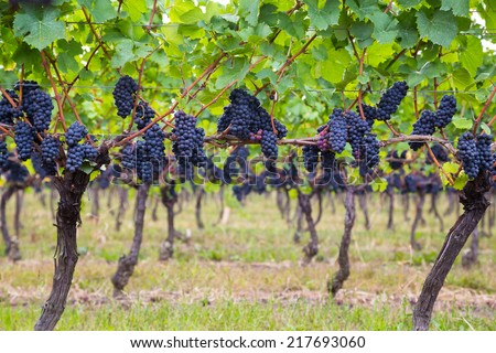 Dark blue Vineyard Grapes on trees - stock photo