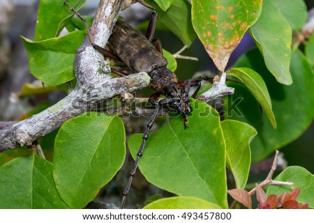 dark brown and black Longhorn Beetle (Cerambycidae) climbing a tree, crowded with green leaf