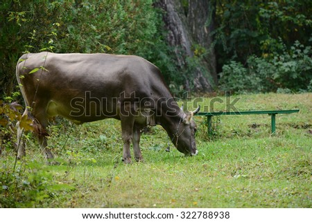 Dark brown cow grazing - stock photo