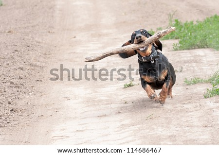 dark brown dachshund running around and playing in the summer park