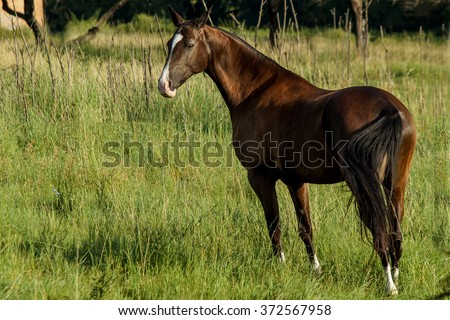 Dark brown horse walking on the field in the high green grass