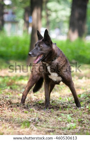Dark brown mixed-bred dog standing in the park