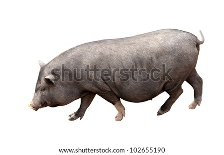 dark brown pig isolated on white background - stock photo
