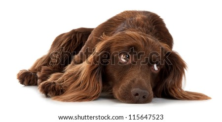 Dark brown spaniel lying on a white background
